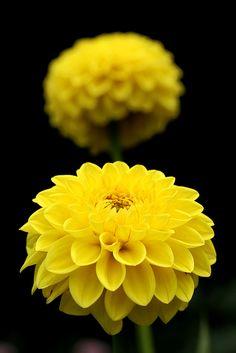 'Yellow Pearl' Dahlia