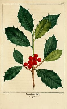 American Holly (1819). From North American Sylva illustrations.