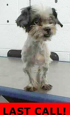ADOPTED --- PAM (A1704847) I am a female black and white Shih Tzu.  The shelter staff think I am about 1 year old.  I was found as a stray and I may be available for adoption on 06/18/2015. — hier: Miami Dade County Animal Services. https://www.facebook.com/urgentdogsofmiami/photos/pb.191859757515102.-2207520000.1434236612./994567447244325/?type=3&theater