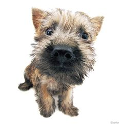 Artlist Collection THE DOG (Cairn Terrier) —Did you know Toto from The Wizard of Oz is a Cairn Terrier breed?