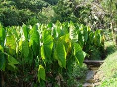 Image detail for -Taro, an important food source for the people of Palau, grows in muddy ...