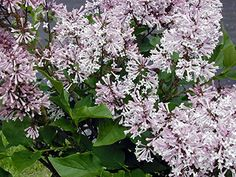Lilac Syringa patula Miss Kim 35 Healthy Potted Plant 3 Pack by Growers Solution -- Learn more by visiting the image link. Plants, Lavender Flowers, Lilac, Fragrant Flowers, How To Attract Hummingbirds, Lilac Tree, Small Shrubs, Japanese Lilac Tree, Syringa
