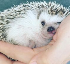 58 Ideas memes faces language for 2019 Pygmy Hedgehog, Baby Hedgehog, Hedgehog Care, Cute Little Animals, Cute Funny Animals, Little Critter, Tier Fotos, Cute Animal Pictures, Cute Creatures