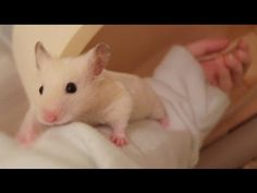 How to Potty Train Your Hamster - YouTube