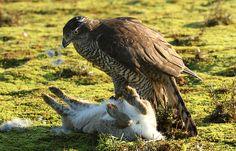 Havik slaat... Raptor Bird Of Prey, Birds Of Prey, Animal Action, Animal 2, Northern Goshawk, Wild Birds, Predator, Birds In Flight, Animal Kingdom