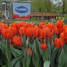 Leuchtender Blickfang: die Tulpe 'Hermitage' - Pflanzzeit ist im Herbst. Online bestellbar bei www.fluwel.de
