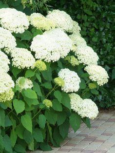 Hydrangea Arborescens Annabelle, Annabelle Hydrangea, Hortensia Hydrangea, Hydrangeas, Townhouse Garden, Evergreen Vines, Border Plants, White Gardens, Gardens