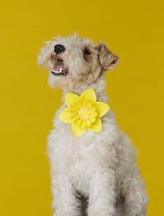 """ Carter at the groomers, got to look good for his duties! Daffodils, Daffodil"