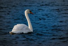 One of the many photographs I have made during all those hours I spent walking near the Danube in Vienna. If you like to learn more about this beautiful city and about the Old and New Danube area, feel free to visit my blog where you can find a whole post about it. #vienna #danube #swan #summer #austria #nature #lake #water Lake Water, Where To Go, Vienna, Old And New, Mother Nature, Austria, Swan, Beautiful Places, Photographs