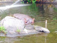 Huge hippo