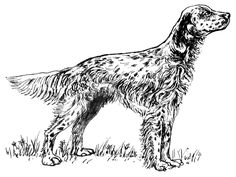 English_setter_BW.png (700×527)