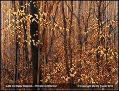 Late October Maples by Martha   Love her work. and she is such a nice person also!!!