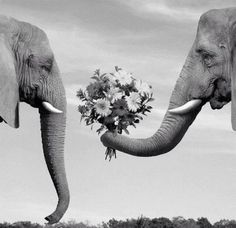 pareja de elefantes