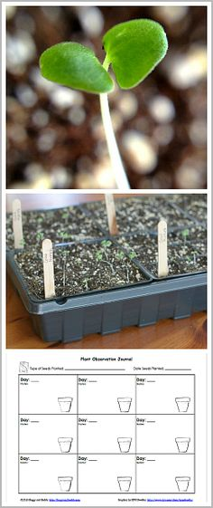 Gardening with Kids: Plant seeds indoors! Fun science activity for kids to do this spring. Includes free printable recording sheet!