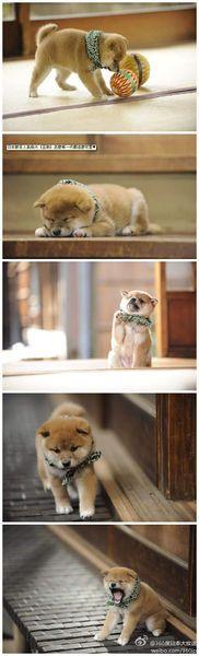 Shiba Inu(inu means dog) puppy【和風総本家】歴代豆助(豆柴)画像【テレ東】 - NAVER まとめ