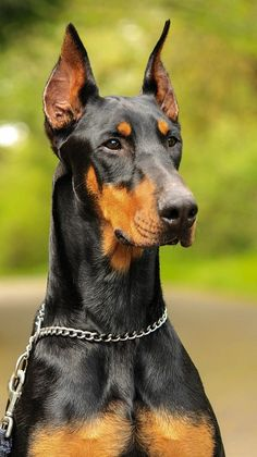 Male Doberman Pinschers have compactly build body.Doberman Pinscher have a slim and smooth coat.They are from Mastiff family and are mostly used as Guardian Dogs.a male Doberman Pinscher weighs around 30-40 kg.Height of a male Doberman is around 25-28 inches.They are alert and intelligent.They have tendency to be become loyal to one person. They are reserved in nature.They can be hard on strangers because of their strong guardian nature.