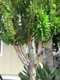 Monadenium ellenbeckii exotic euphorbia african cactus hang cacti seed 5 seeds