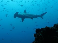 """Hammerhead Shark Schools of hammerheads stop by Cocos during their long migrations to visit the island's so-called """"cleaning stations,"""" where smaller fish consume parasites on the sharks' skin and in their gills and mouths.  Cocos Island Expedition Photos -- National Geographic"""