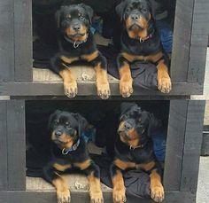 rottweiler great dane mix puppies for sale | Zoe Fans Blog ...