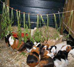 Diy Guinea Pig Toys, Guinea Pig Run, Diy Guinea Pig Cage, Guinea Pig House, Pig Habitat, Outdoor Rabbit Hutch, Guinea Pig Accessories, Guniea Pig, Bunny Cages