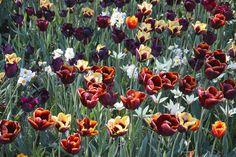 AMSTERDAM -Een bijzondere excursie staat vrijdag 19 mei op het programma, georganiseerd door |het ontwerp instituut. De tuin van het Rijksmuseum van Cuypers en het Vondelpark van Zocher. Beide plekken zijn Nederlandse monumenten die iedereen kent en tegelijk zijn het alle twee bakens in het stedelijk weefsel van deze tijd. Miljoenen bezoekers die komen