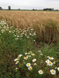 Kåseberga, Skåne, Sweden ~ Wheat and Daisies