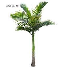 King Palm Tree - Welcome to your local online nursery, offering cheap and affordable wholesale discounted plants and palm trees, packaged and shipped around the world! RPT can help achieve your vacation resort in the comfort of your home with a great staff, full of ideas and landscape architects ready to design on any budget. Contact us at www.RealPalmTrees.com if you have questions about planting or installing or needing help importing or exporting fresh plants and palms!