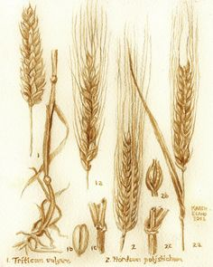 Barley and Wheat Botanical Drawing painted using by BeerPainter