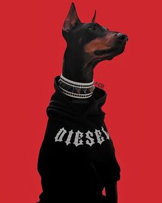 The Doberman Pinscher is among the most popular breed of dogs in the world. Known for its intelligence and loyalty, the Pinscher is both a police- favorite Doberman Pinscher Dog, Doberman Dogs, Dobermans, Doberman Tattoo, Black Doberman, I Love Dogs, Cute Dogs, Funny Dogs, Black And Tan Terrier