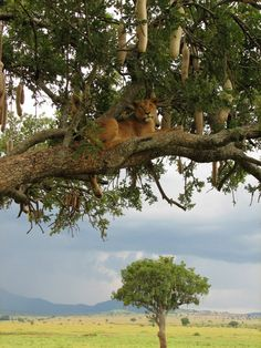 Pregnant Lioness resting in a sausage tree in Kidepo Valley National Park, Uganda. Kidepo is another national park where you can find the rare tree climbing lions. by Gip Gipukan