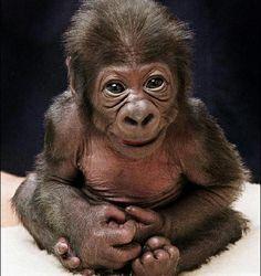 Sweet little baby Gorilla. Nature Animals, Animals And Pets, Beautiful Creatures, Animals Beautiful, Cute Baby Animals, Funny Animals, Los Primates, Baby Gorillas, Cute Monkey
