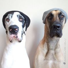 Dog twins funny Hahaha!! Omg this made me laugh so damn much, they actually pull off beanies better than any human ever did or will do!!!!