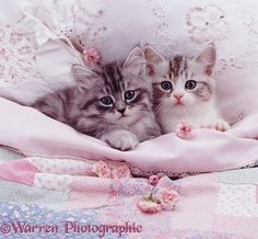 Silver kittens in pale pink bed