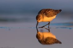 Western Sandpiper  Calidris mauri  Common migrant and winter resident