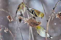 Finches in Winter
