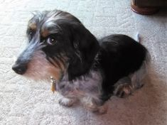 My suspicious dachshund, Tucker. Dapple Dachshund, Wire Haired Dachshund, Mini Dachshund, Daschund, Scottish Terrier, Dogs And Kids, I Love Dogs, Cute Puppies, Dogs And Puppies