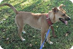 Florence, KY - Labrador Retriever/Terrier (Unknown Type, Medium) Mix. Meet Bess, a dog for adoption. http://www.adoptapet.com/pet/11736801-florence-kentucky-labrador-retriever-mix