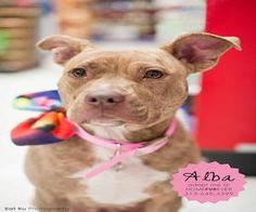 Alba is an adoptable American Staffordshire Terrier Dog in Detroit, MI. Alba and her litter of puppies were abandoned just days after she gave birth. Luckily, an amazing foster home stepped up to take...