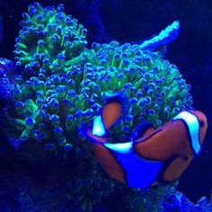 Clowns always take a photo up a notch.  #coral #reeftank #coralreeftank #reef…  #hardcoral #hard #coral #corals #marine #saltwater #hardcorals #corals #reeftank #reefaquarium #saltwatertank #saltwateraquarium #marinetank #marineaquarium #tank #aquarium #marine #nano #fish #lps #sps