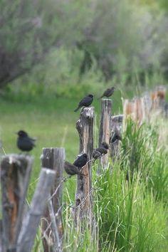 *blackbird