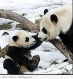 Mommy & baby panda playing in the snow