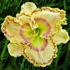 "Charmed Life- Seeds crossed TET (Ponkan's Lucky Charm X seedling) 7 ½ ""… Beautiful Flowers, Daylilies, Flower Garden, Pretty Flowers, Perennials, Lilies Of The Field, Rare Flowers, Pretty Plants, Day Lilies"
