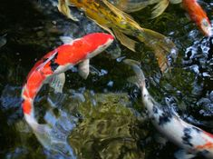 Beauty And The Best, Ponds Backyard, Water Garden, Koi, Fish, Pets, Animals, Animales, Animaux