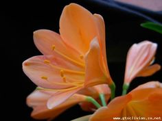 Clivia growers of distinction