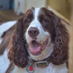 Image result for gray markings on an english springer