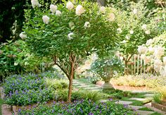 Panicle Hydrangea:  Prune into tree shapes for added emphasis. The large white flowers on this 'Pee Gee' panicle hydrangea are hard to miss in late summer, when few trees and shrubs bloom. Zones 4–8.