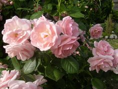 """Képtalálat a következőre: """"kerttervezés+rózsa"""""""