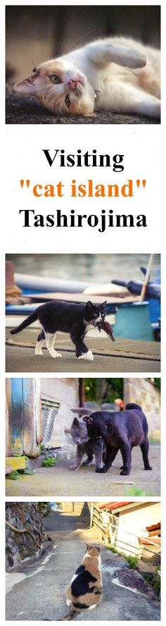 Cat lovers, this is your dream travel destination. You'll be cuddling cats for hours! http://www.traveling-cats.com/2017/08/cats-from-tashirojima-japan.html (cat lovers, cat lover, travel, travel destination, cats, cuddling cats, cat island, Tashirojima,