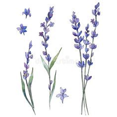 Wildflower lavander flower in a watercolor style isolated.. Illustration about meadow, lavander, fall, closeup, paint, blossom, foliage, decoration, colorful, rustic - 101502315 Art Floral, Captain America Art, Lavander, Diy Canvas Art, Dark Fantasy Art, Graphic, Watercolor Flowers, Royalty Free Images, Line Art