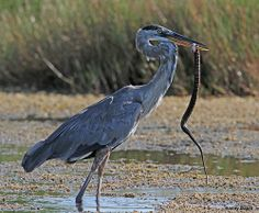 GREAT BLUE HERON WITH SNAKE - Photo by Danny Bales (mudhen2) via Flickr